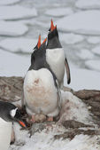 Screaming Gentoo penguins. — ストック写真