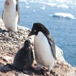 Stock Photo: Adelie penguins in family nest.