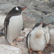 Gentoo penguin family in the nest in the cliffs. — Stock Photo