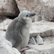 Downy chick Antarctic penguin. — Lizenzfreies Foto