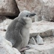 Stock Photo: Downy chick Antarctic penguin.