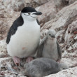 Female and two chicks chinstrap penguins. — Stock Photo