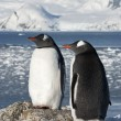 Постер, плакат: Gentoo penguin couple on the background of the glaciers