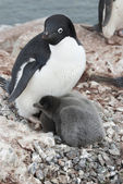 Adult Adelie penguin and chicks in the nest. — Stock Photo