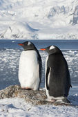 Gentoo penguin couple on the background of the glaciers. — Stock Photo