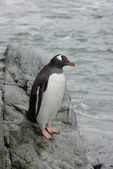 Gentoo penguin on coastal rocks. — Stock Photo