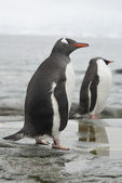 Gentoo penguin in the band ebb. — Stock Photo