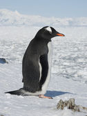 Gentoo penguin on the background of the frozen ocean. — Stock Photo