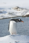 Gentoo penguin on a ski slope. — Stock Photo