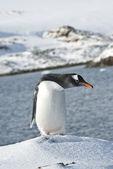 Gentoo penguin on a ski slope. — Stock Photo