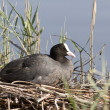 Female coot sitting on the nest. — Stock Photo