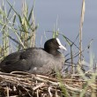 Stock Photo: Female coot sitting on the nest.