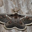 Great Peacock Moth, Giant Emperor Moth or Viennese Emperor. — Stock Photo
