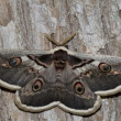 Постер, плакат: Great Peacock Moth Giant Emperor Moth or Viennese Emperor