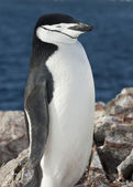Portrait of Antarctic penguin against the ocean. — Stock Photo
