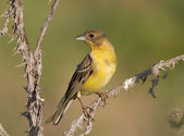 Female Black-headed Bunting. — 图库照片