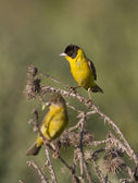 Male and female Black-headed Bunting. — Stock Photo
