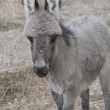 Portrait of a baby donkey homel. — Stock Photo