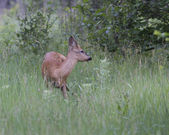 Male deer in a forest clearing. — Stock Photo