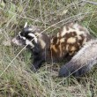Stock Photo: Marbled polecat among grass.