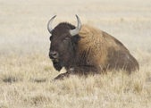 Female bison resting in autumn steppe. — Stock Photo