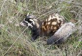 Marbled polecat among grass. — Stock Photo