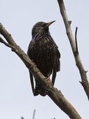 Common Starling sitting on a dead branch. — Stock Photo