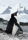 Female Adelie penguin with chicks. — Stock Photo