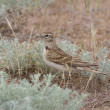 Stock Photo: Greater Short-toed Lark in steppe.
