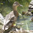 Female mallard with brood of ducklings. — Stock Photo #18559581