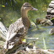 The female mallard with a brood of ducklings. — Stock Photo