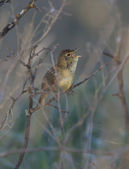 Common Grasshopper Warbler male singing in the bush. — Stock Photo