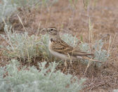 Greater Short-toed Lark in the steppe. — Stock Photo