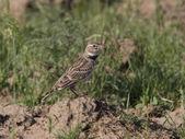 Male steppe lark sitting on the mound. — Stock Photo