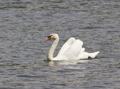 A male mute swan floating on the pond. — Stock Photo