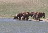 Kalmyk breed bulls on watering. — Stock Photo