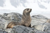 Fur Seal sitting on a rock island Antarctic. — Stok fotoğraf