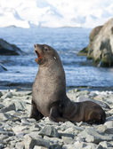 Male fur seals on the beach of the Antarctic. — Stok fotoğraf