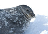 Portrait of Weddell seals sleeping on the ice. — Stok fotoğraf