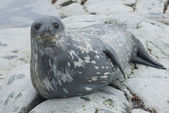 Weddell seals on the rocks of the islands. — Стоковое фото