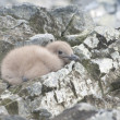 South Polar skuas downy chick. — Lizenzfreies Foto