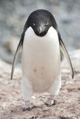Male Adelie penguin in the colony. — Stock Photo