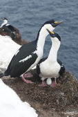 Male and female Antarctic blue-eyed cormorant in the nest. — Foto Stock