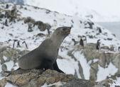 Subantarctic fur seal on a rock. — Stock Photo