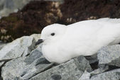Snow petrel resting on the Antarctic Islands. — Stock Photo