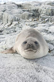Young southern elephant seal on the rocks. — Stock Photo
