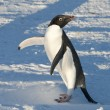 Stock Photo: Adelie Penguin on snowy beach warming up sunny day.