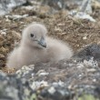 Downy chick South Polar skua sitting among the rocks. — Stock Photo