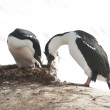 Stock Photo: Male and female Antarctic blue-eyed cormorant build a nest.
