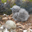 Stock Photo: Newly hatched chick and egg South Polar Skua.